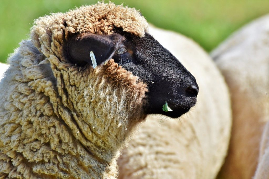 sheep, sheepshead, livestock